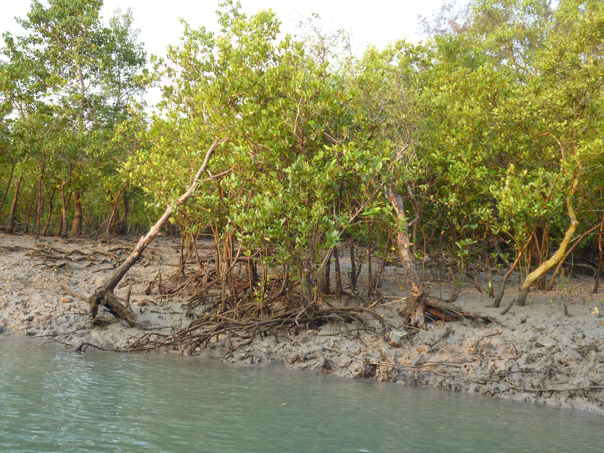 Mangrove and Planting