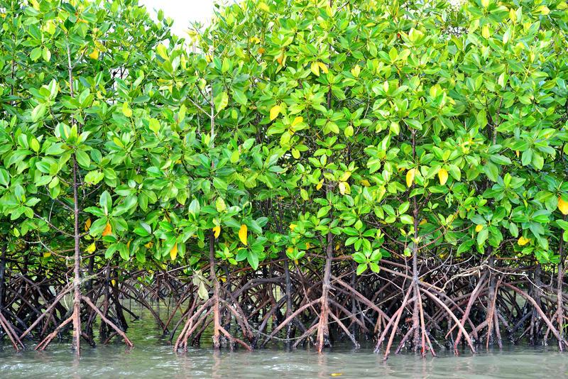 Making Mangrove