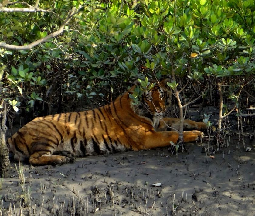 Sunderbans Royal Bengal Tiger