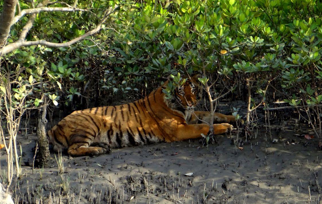 Sunderbans Royal Bengal Tiger